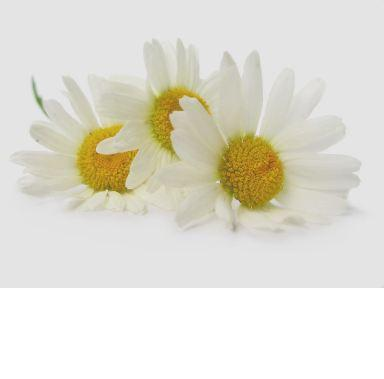 chamomile-photo-page.jpg